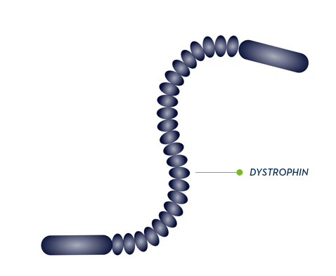 dystrophin.png
