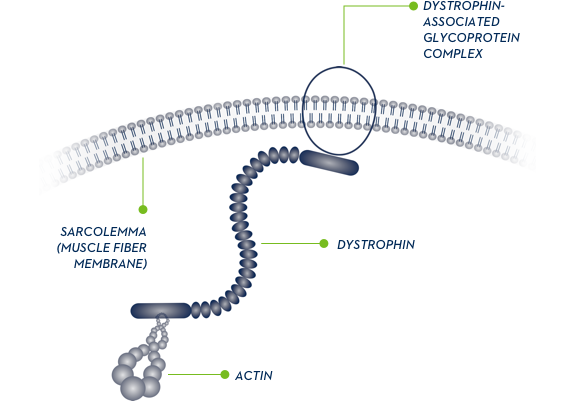 Dystrophin